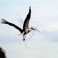 Аист  обновляет гнездо. :: Ольга