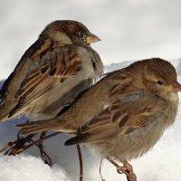 Сидим и ждём, когда растает снег... :: SELENA4950