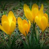 Желтые крокусы :: Сергей Карачин