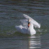 Лебедь... :: Лариса Н