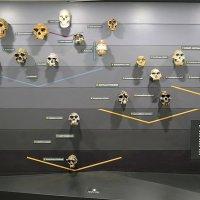 Эволюция человека ... в черепах... :: Тамара Бедай