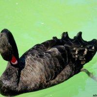Чёрный лебедь :: Нина Бутко