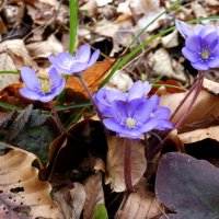 Печёночница благородная,  Hepatica nobilis :: Heinz Thorns