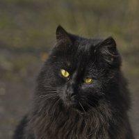 Портрет черного кота :: Ольга Винницкая (Olenka)