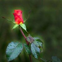 Осенняя роза после дождя :: Вячеслав Побединский