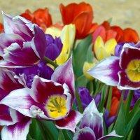 Тюльпаны :: Наталья Цыганова