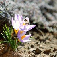 Апрельские первоцветы :: Agapa ***