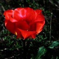 Тюльпаны Казахстана :: Алтынбек Картабай