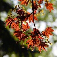 Цветущие клёны - всемирная нежность, несколько дней вечной весны... :: Ольга Русанова (olg-rusanowa2010)