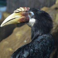 Папуасская птица-носорог... :: Наташа *****