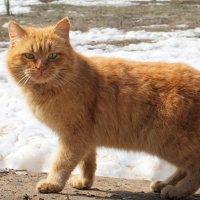 И рыжий кот вовсю весну зовёт! :-) :: Андрей Заломленков