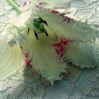 Тюльпан с ресничками :: Анна *