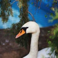 Лебедь на пруду :: Valentina Zaytseva