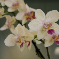 Орхидея :: Jeanne Pavlova