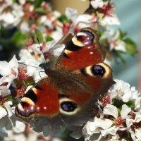 Бабочка :: Александр Варфлусьев