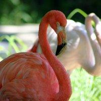 Фламинго. Николаевский зоопарк :: Ольга Давыдова
