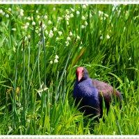 Пукека - новозеландcкая птица :: Natalya секрет