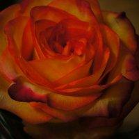 роза :: Лиза Холостова