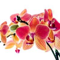 Орхидея :: Евгений Гресь