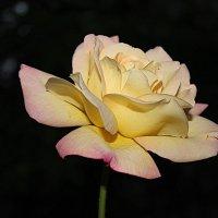 Роза в ночи. :: Наталья Юрова
