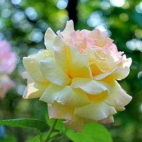 Солнечная роза. :: Наталья Юрова