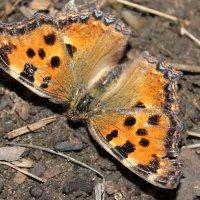 Бабочка :: Зинаида Ермакова