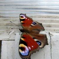 Бабочка-Шоколадница. :: Виктория Чурилова