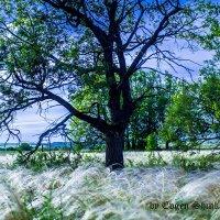 Дерево в поле :: Евгений Шинкаренко