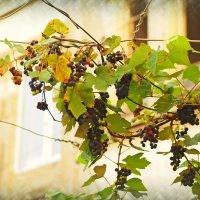 Виноградная лоза :: Григорий Азатян
