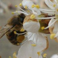 Пчёлка :: Наталья Яманова