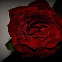 Роза :: Kristinochka S