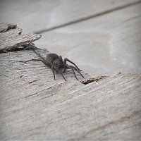 Паук-волк - в ожидание самки. :: pavel b