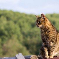 Кот на крыше :: Ольга Орлова
