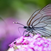Прозрачная бабочка :: Ольга Орлова