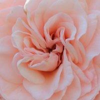rosa :: Zlata Charskaya