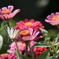 Подалирий -  бабочка семейства парусников :: Елена Богос