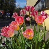 тюльпаны :: Anna-Sabina Anna-Sabina