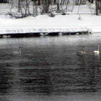 Лебеди на севере. :: Галина Полина
