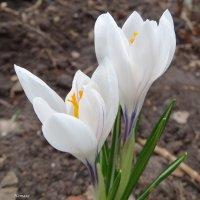 Красивая парочка белых крокусов :: Натала ***
