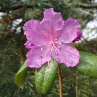 Как бабочка на ветке цветок рододендрона :: Ирина