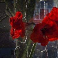 Распустившиеся на окне :: Сергей Цветков