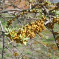 Облепихи цвет весенний... :: Тамара Бедай