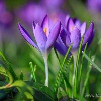 Весенние цветы :: Андрей