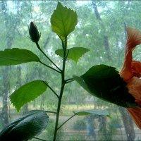 Гибискус в дождливый день :: Нина Корешкова