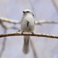 Маленькое чудо-Белая лазоревка. :: Марина Мерц