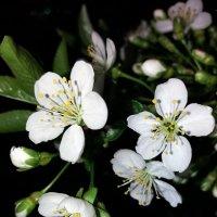 Нежные цветочки нас радуют весной :: Татьяна