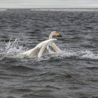 лебедь :: Наталья Литвинчук