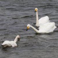 лебеди :: Наталья Литвинчук