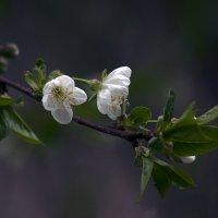 Вишни цвет :: Павел Вышер