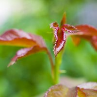 Растение май 2018 :: Наталья (ShadeNataly) Мельник